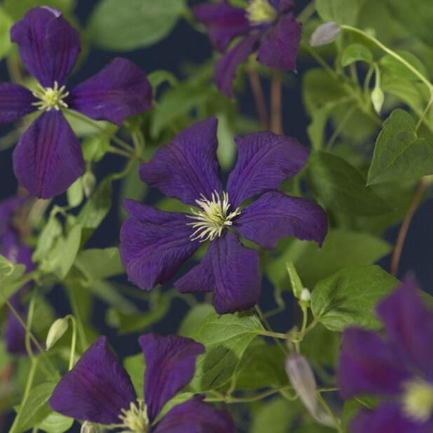 Klematis 'Etoile Violette', Ø17 cm, Lilla