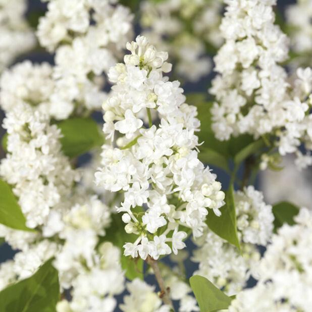 Duftsyrin 'Alba', Høyde 70 cm, Hvit