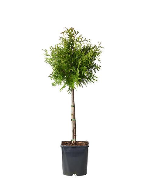 Tuja 'Brabant' oppstammet, Ø19 cm, Grønn