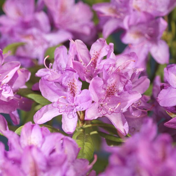 Rododendron 'Roseum Elegans', Ø17 cm, Rosa