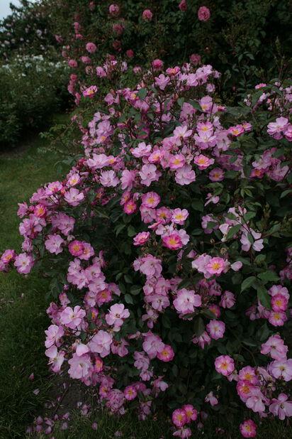 Bunndekkende rose, Høyde 20 cm, Lilla
