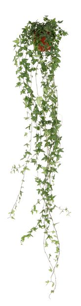 Eføy lange ranker, Høyde 80 cm, Grønn