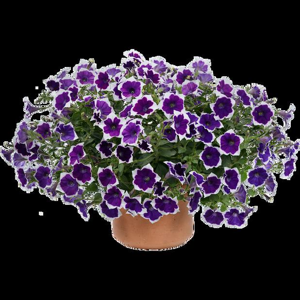 Petunia 'Aurora Violet Dua', Ø12 cm, Flerfarget