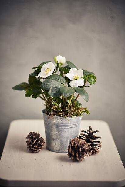 Julerose , Ø10.5 cm, Hvit