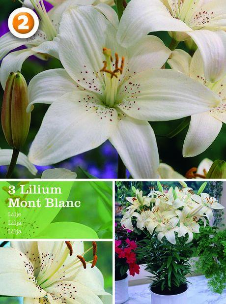 Lilium pot Mont Blanc, Hvit