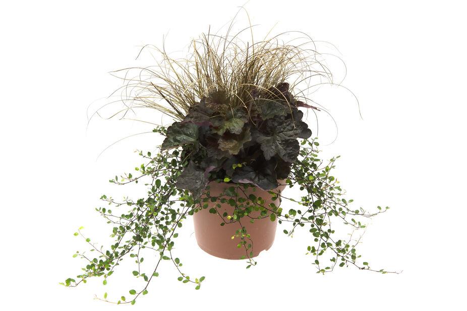 Høstblomster Trendy Pixie, Ø17 cm, Flerfarget