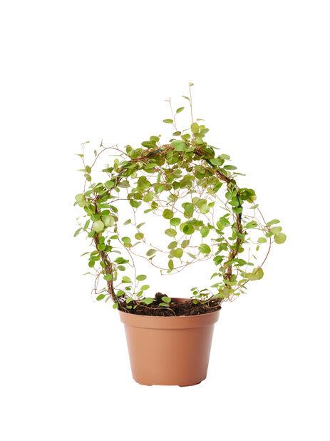 Pletter , Høyde 35 cm, Grønn