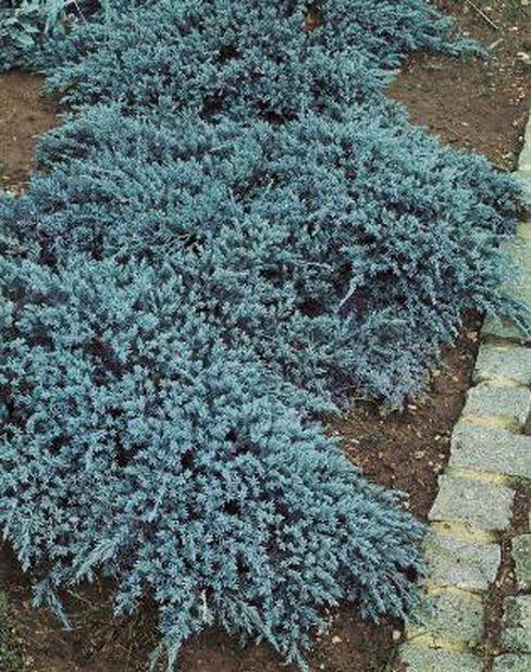 Himalayaeiner 'Blue Carpet', Ø19 cm, Blå