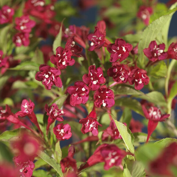 Klokkebusk 'Red Prince', Høyde 50 cm, Rød