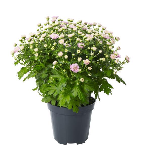Frilandskrysantemum, Ø12 cm, Rosa