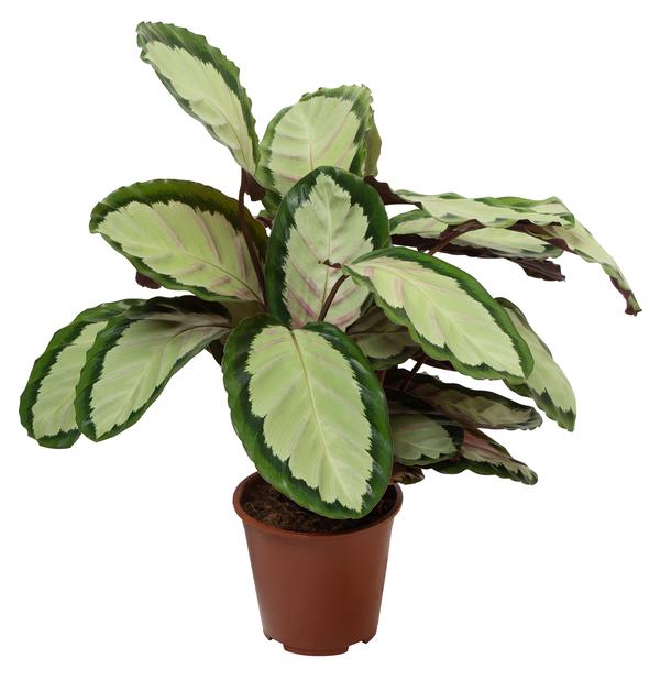 Calathea 'Silvia', Høyde 80 cm, Grønn
