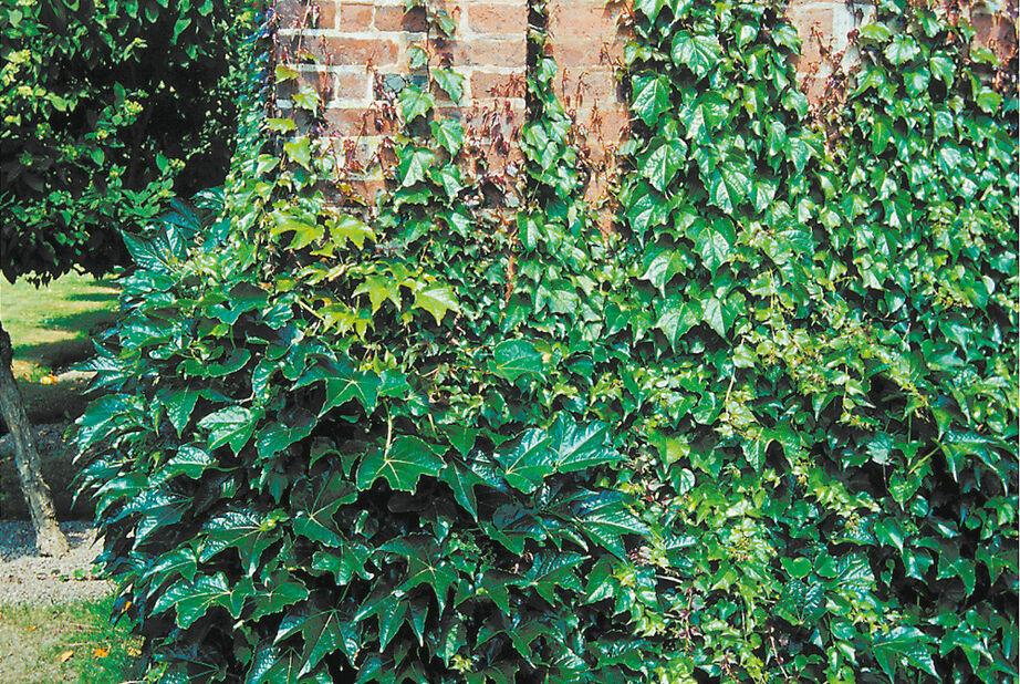 Rådhusvillvin 'Veitchii', Ø19 cm, Grønn