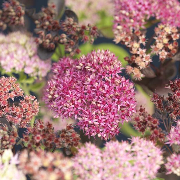 Sedum autumn mix, Høyde 25 cm, Flerfarget