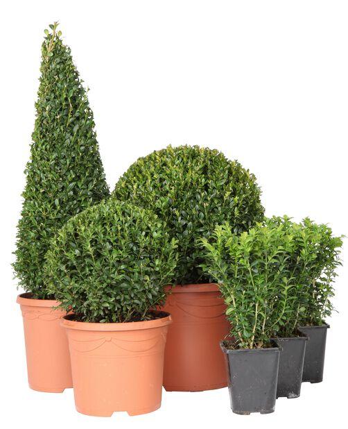 Europabuksbom busk, Ø13 cm, Grønn