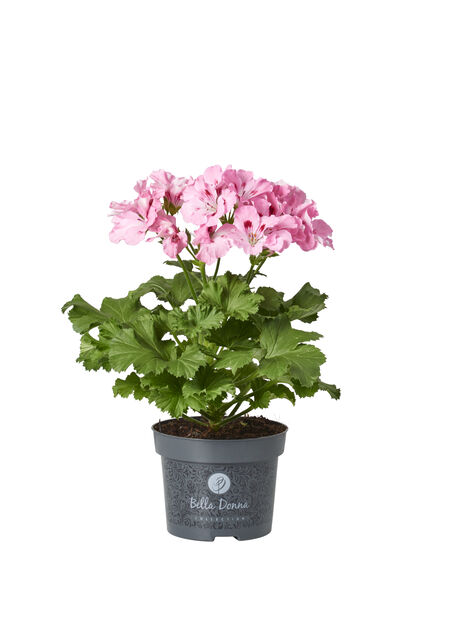 Engelsk pelargonia 12 cm Rosa
