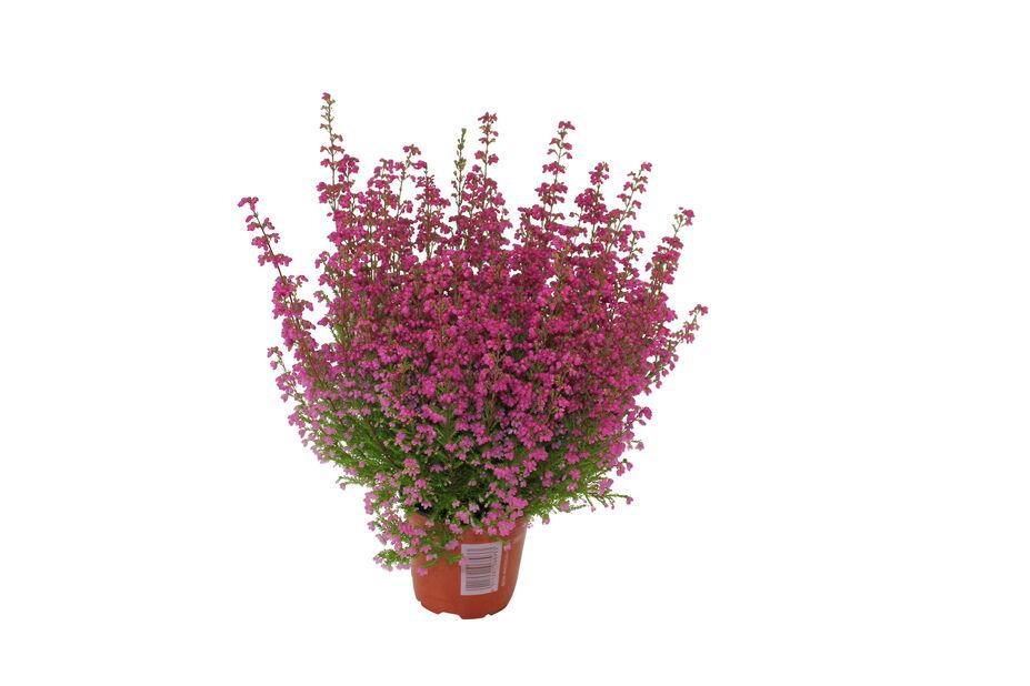 Høstlyng 'Erica', Ø13 cm, Rød