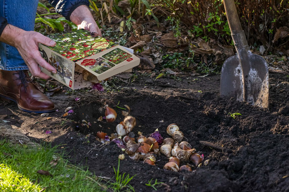 Vårblomstrende løkmiks Ratatouille, Flerfarget