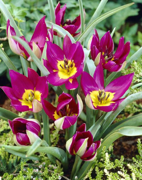 Tulipan 'Persian Pearl', Rosa