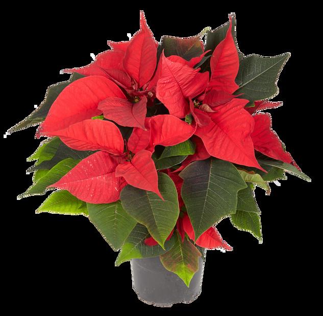 Flergrenet julestjerne, Ø12 cm, Rød