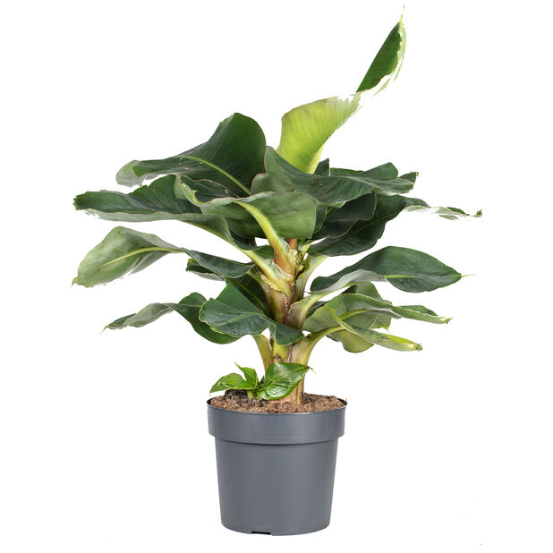 Bananpalme, Høyde 80 cm, Grønn