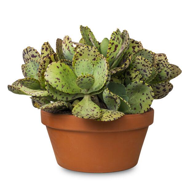 Kalanchoe 'Marmorata' i potte, Høyde 40 cm, Grønn