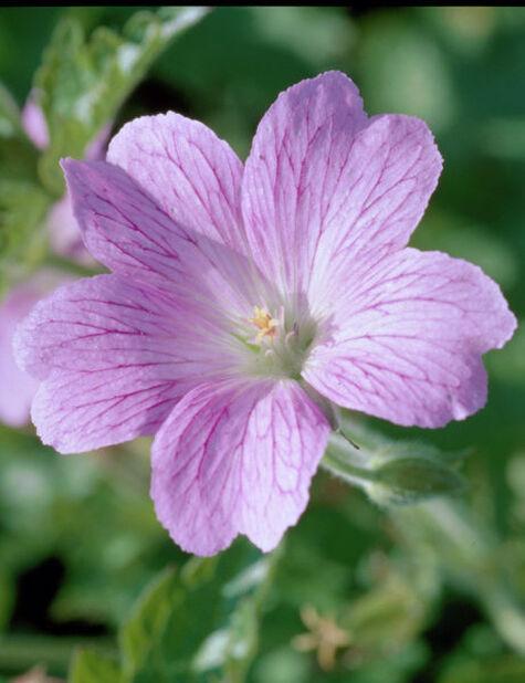 Høststorkenebb, Høyde 15 cm, Rosa
