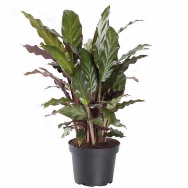 Calathea 'Rufibarba', Høyde 90 cm, Grønn