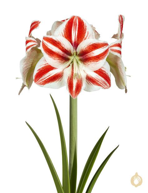 Amaryllis spesial 2-grenet, Ø13 cm, Flere farger
