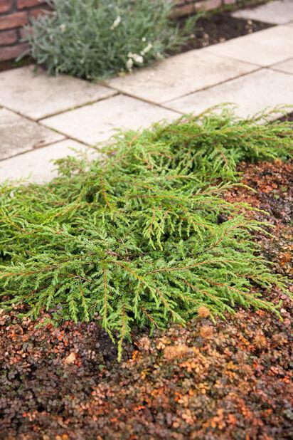 Fjelleiner, Ø22 cm, Grønn