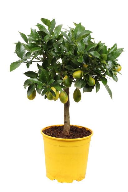 Oppstammet lime, Ø19 cm, Oransje