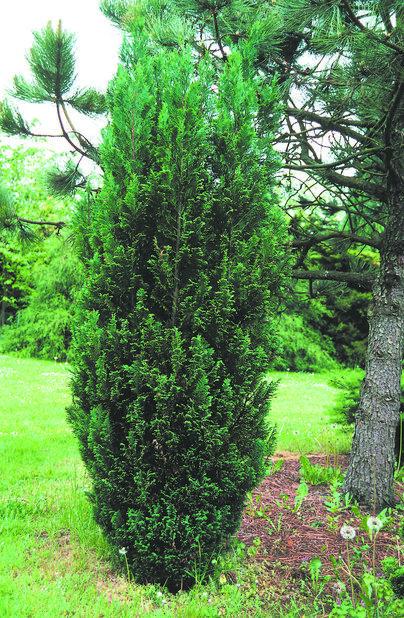 Lawsonsypress 'Ellwoodii', Høyde 50 cm, Grønn