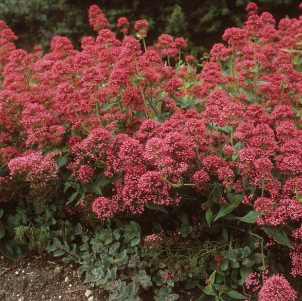 Sporeblomst, Ø11 cm, Rød