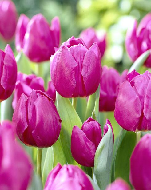 Tulipan 'Purple Prince', Flere farger