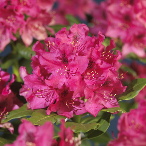 Parkrododendron 'Nova Zembla', Høyde 30 cm, Rød