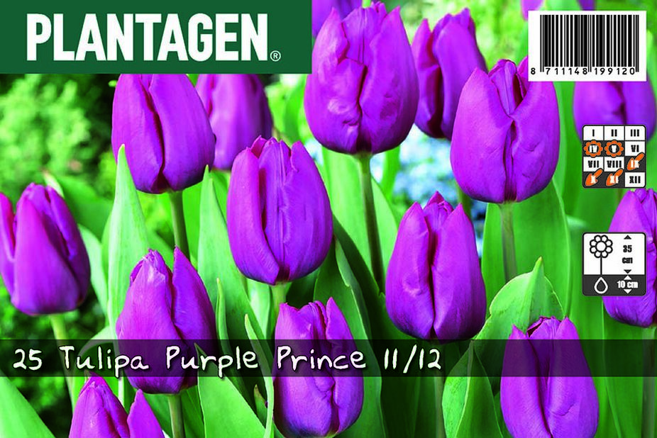 Tulipan 'Purple Prince', Lilla