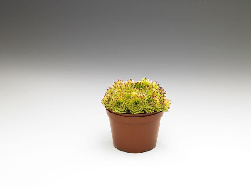 Stenbedsplanter mix, Ø12 cm, Grønn