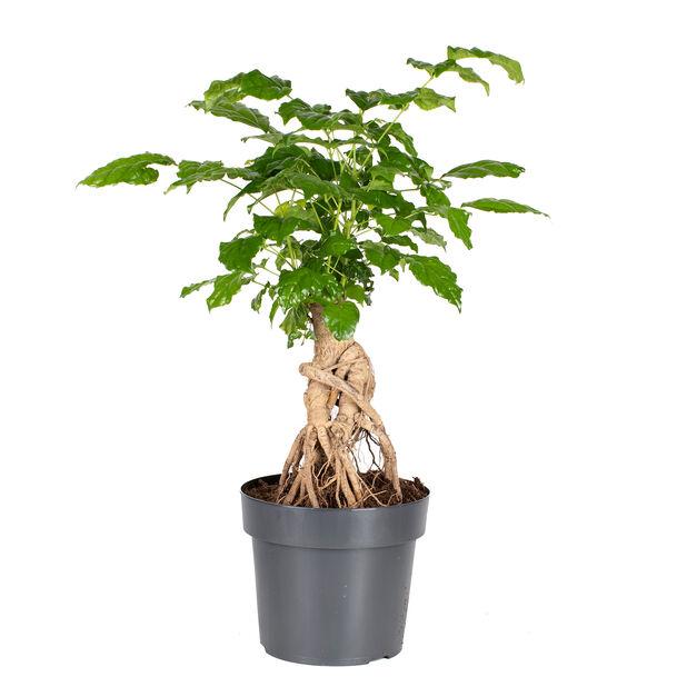 Stueask, Høyde 40 cm, Grønn