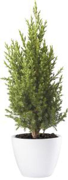 Kinaeiner 'Stricta', Høyde 70 cm, Blå