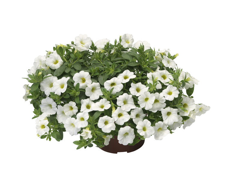 Småpetunia, Ø12 cm, Hvit