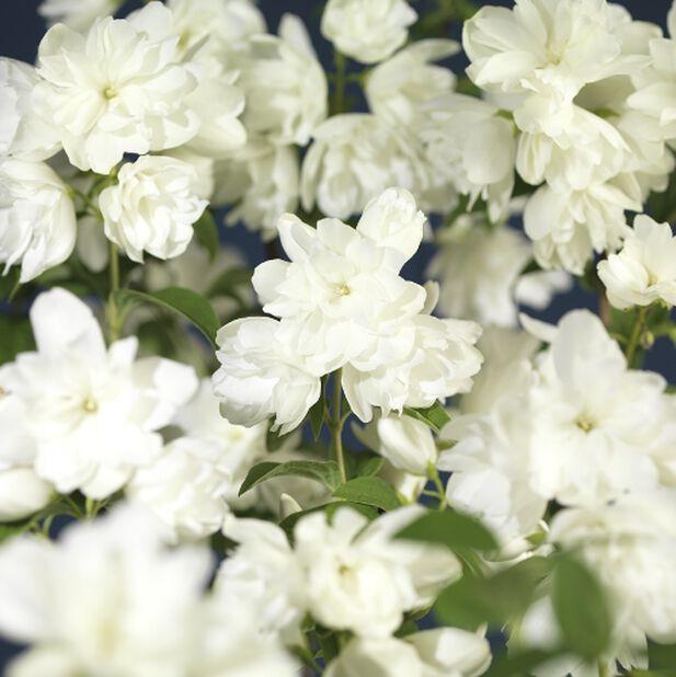 Skjærsmin 'Snowbelle', Ø22 cm, Hvit
