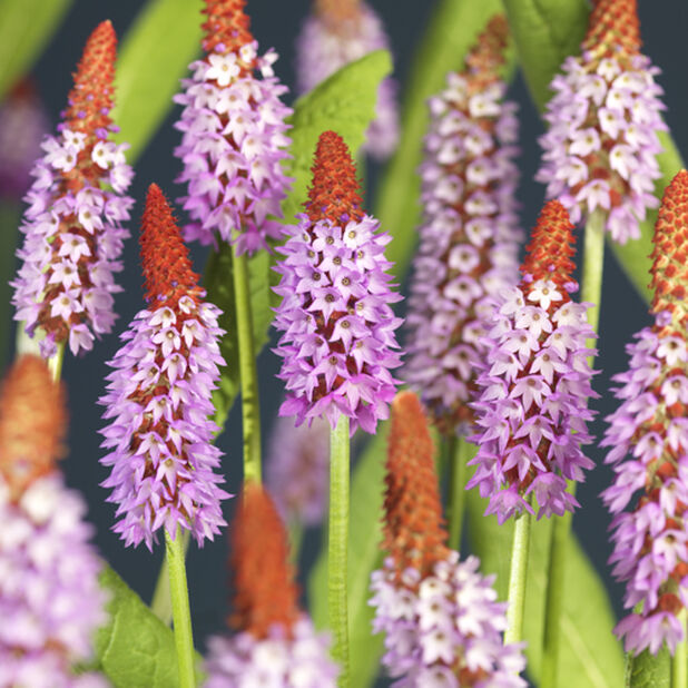 Orkidéprimula, Ø17 cm, Lilla