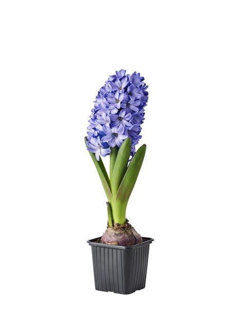 Hyacinthus orientalis Blue 7cm
