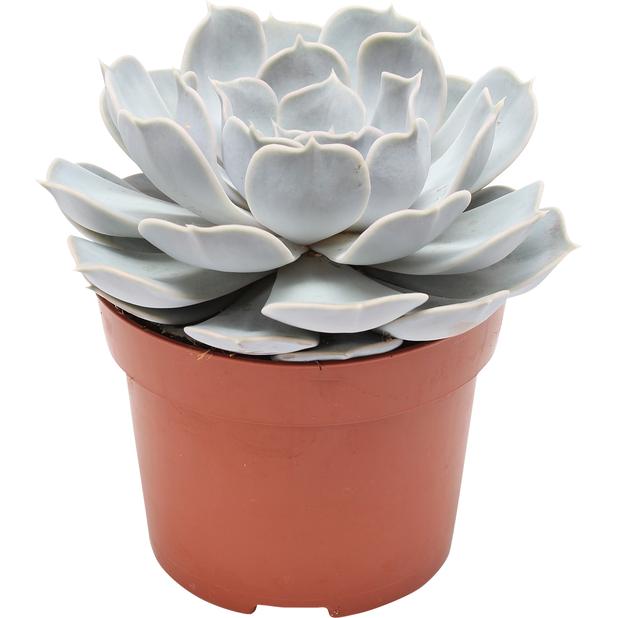 Rosetturt, Høyde 15 cm, Lilla