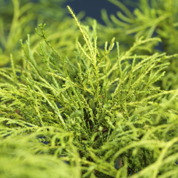 Ertesypress 'Filifera Nana', Ø22 cm, Grønn