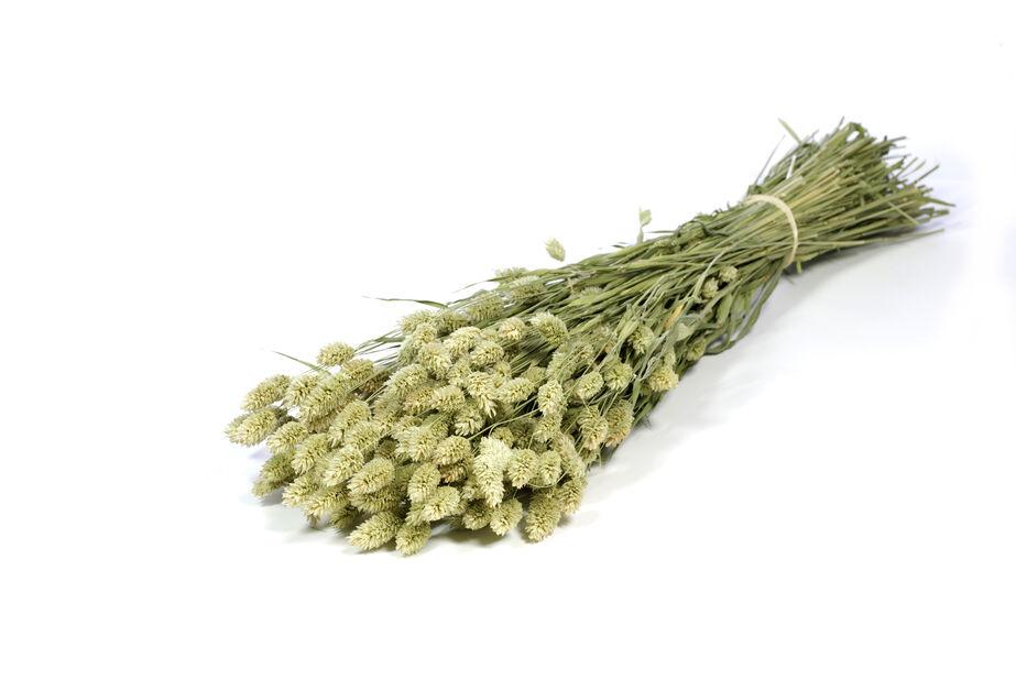 Phalaris natulig grønn , Høyde 50 cm, Brun