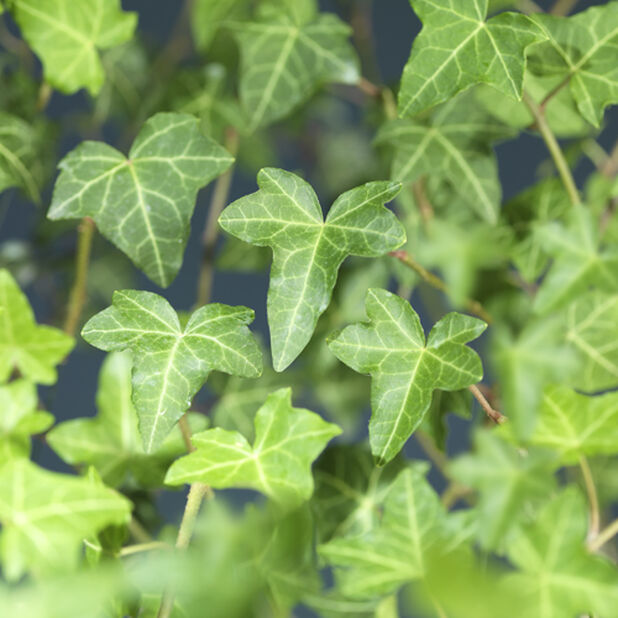 Bergflette miks, Høyde 15 cm, Grønn