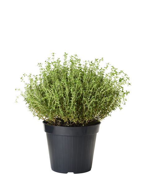 Timian, Ø14 cm, Grønn