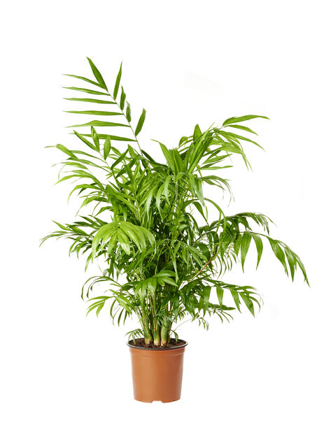 Dvergfjærpalme, høyde 90 cm