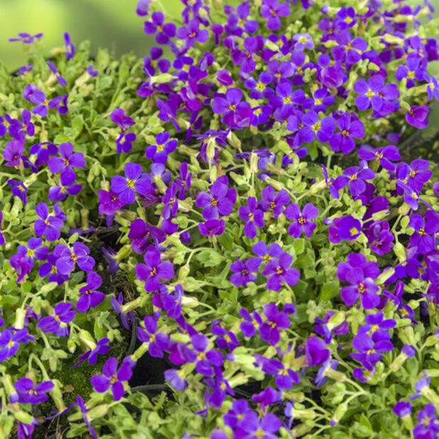 Blåpute 'Blaumeise', Ø17 cm, Blå