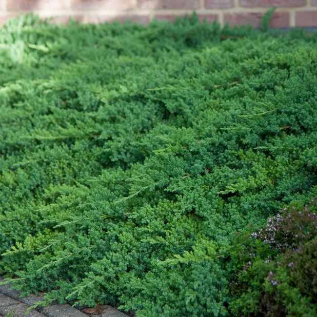 Flateiner 'Nana', Ø26 cm, Grønn